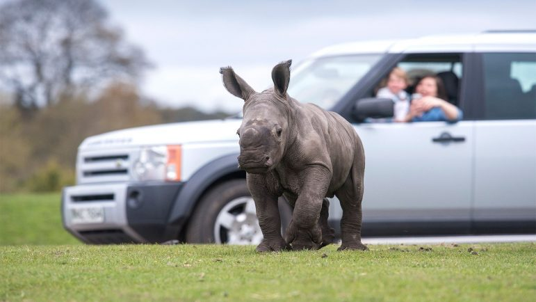 The white rhino calf had his first experience with cars.